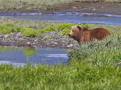 Kodiak Brown Bear Center