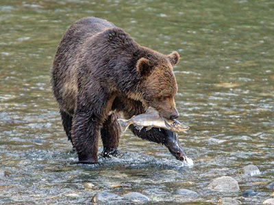 Grizzlies of Toba